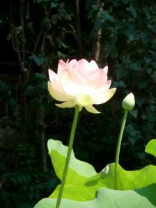 First Lotus